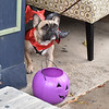 Not all of the trick-or-treaters were on two legs.  Rick Cawley — For Digital First Media