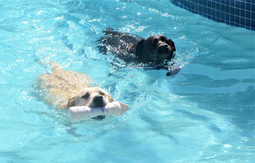 . Sadie retrieves a ball for her owner during Perkasie Borough Park and Recreation�s second annual Doggy Dip at the Menlo Aquatics Center Saturday, Sept. 9.  Christine Wolkin � For Digital First Media