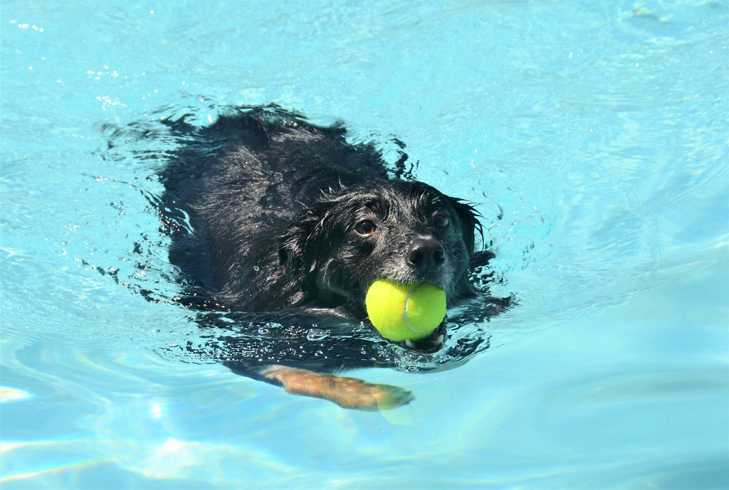 . Dakota, a border collie, plays fetch with her owner during Perkasie Borough Park and Recreation�s second annual Doggy Dip at the Menlo Aquatics Center Saturday, Sept. 9.  Christine Wolkin � For Digital First Media