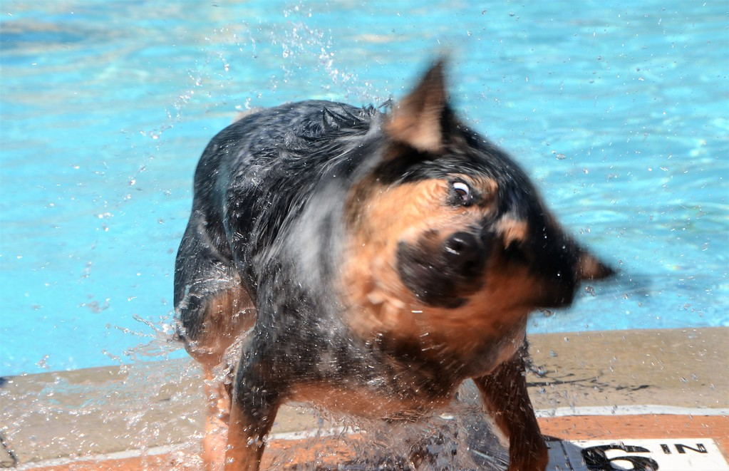 . Zara shakes off during Perkasie Borough Park and Recreation�s second annual Doggy Dip at the Menlo Aquatics Center Saturday, Sept. 9.  Christine Wolkin � For Digital First Media