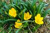 Yellow crocus-like flowers in the Kotor Lakes region of Montenegro.