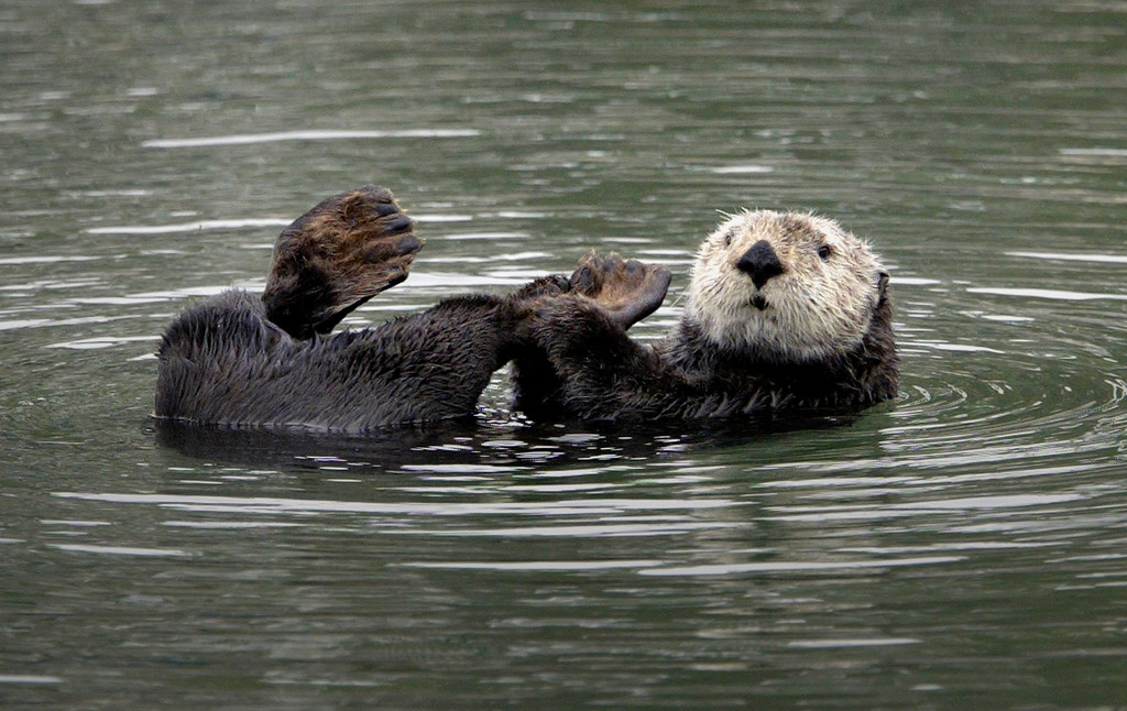 . A California sea otter floats near the Moss Landing Harbor on July 23, 2004.  (Vern Fisher - Monterey Herald)