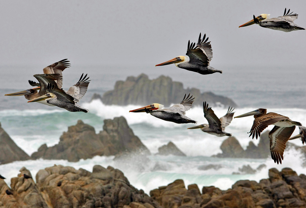 . Brown Pelicans soaring over the large surf in Pacific Grove on October 22, 2013.  (Vern Fisher - Monterey Herald)