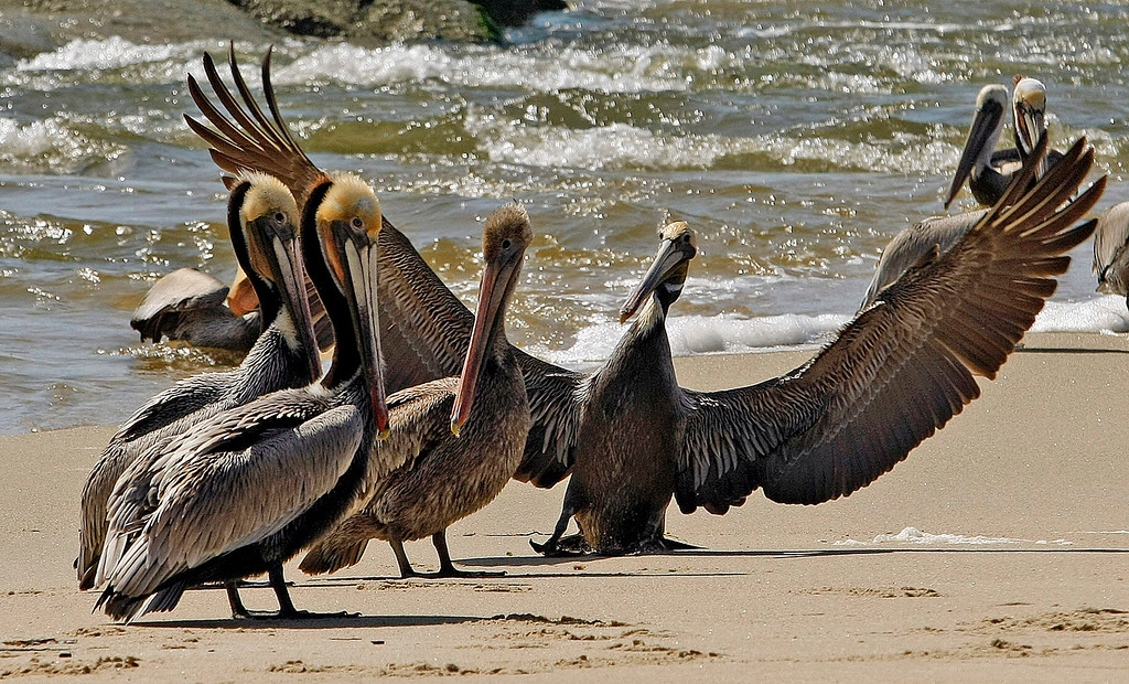 . A California Brown Pelican comes in for a rough landing due to haevy winds at the mouth of the Carmel River on  March 10, 2010.  (Vern Fisher - Monterey  Herald)