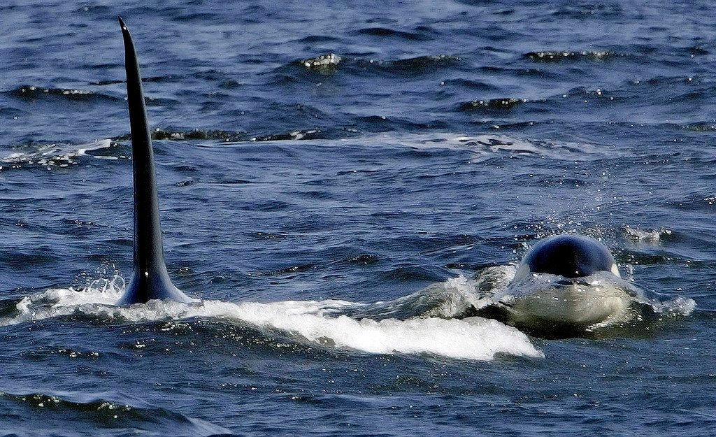 """. A \""""baby\"""" Killer Whale surfaces next to a large male Killer Whale on April 21, 2005 as they patrol the area off Cypress Point in Pebble Beach on Thursday.  This transient group of Killer Whales is the same group that has returned to this location every Spring waiting for the migrating Grey Whales. (Vern Fisher - Monterey Herald)"""