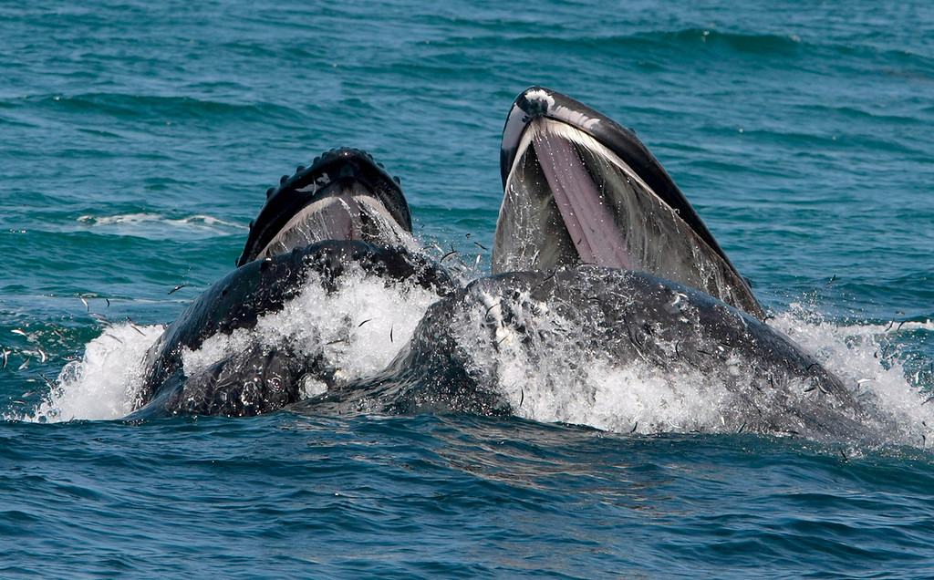 . Two Humpback whales lunge feed off Monastery Beach south of Carmel on August 24, 2015.  (Vern Fisher - Monterey Herald)