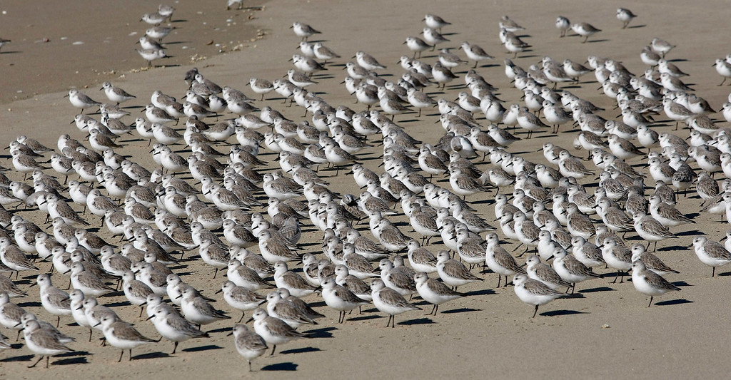 . Shorebirds near the mouth of the Salinas River at the Salinas River National Wildlife Refuge on February 24, 2015.   (Vern Fisher - Monterey Herald)