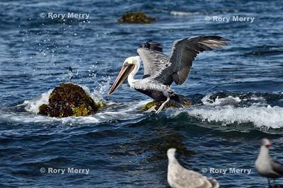 Pelicans_20150925_282