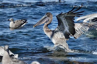 Pelicans_20150925_250