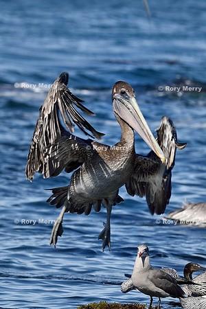 Pelicans_20150925_498
