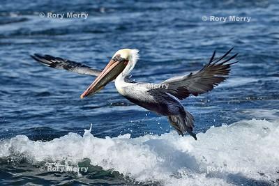 Pelicans_20150925_279