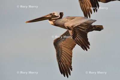 Monterey Bay Pelicans