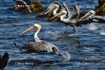 Pelicans_20150925_368