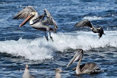 Pelicans_20150925_278
