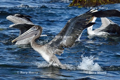 Pelicans_20150925_248