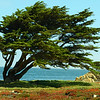 Cannery Cypress