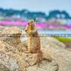 monterey-squirrel-0115