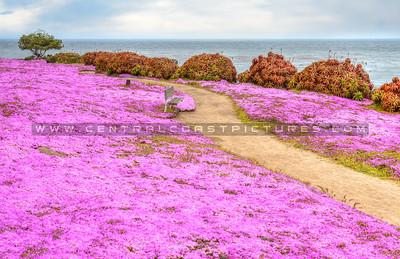 monterey-pink-flowers_0155