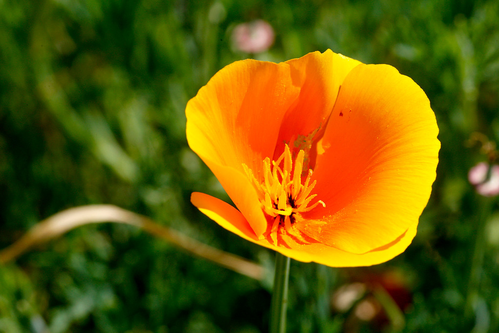 . California Poppy wildflowers blooming at Laguna Seca Recreation Area on Wednesday, March 15, 2017.  (Vern Fisher - Monterey Herald)