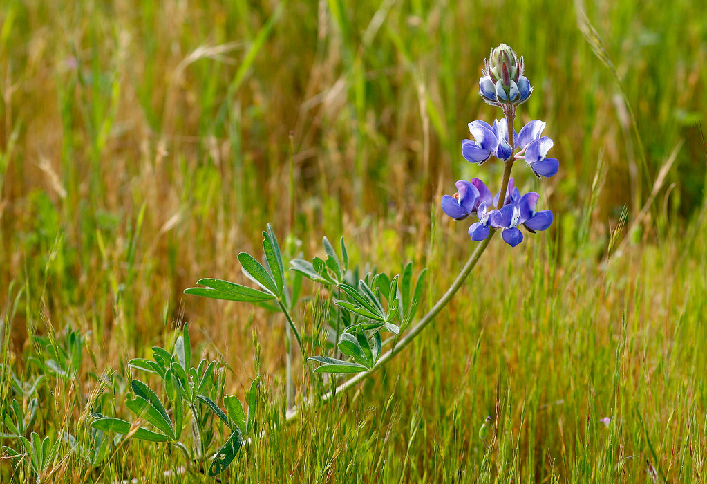 . Lupine wildflowers blooming at Laguna Seca Recreation Area on Wednesday, March 15, 2017.  (Vern Fisher - Monterey Herald)