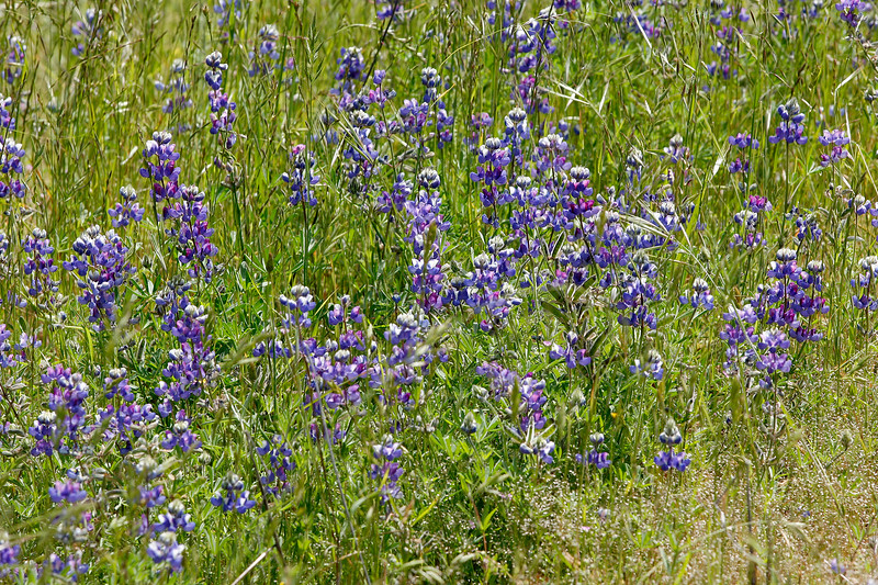 Monterey County Wildflowers