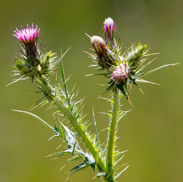 . Thistle about to bloom in the Laguna Seca Recreational Area on Wednesday, May 2, 2018.  (Vern Fisher - Monterey Herald)