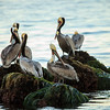 Pelicans at Low Tide