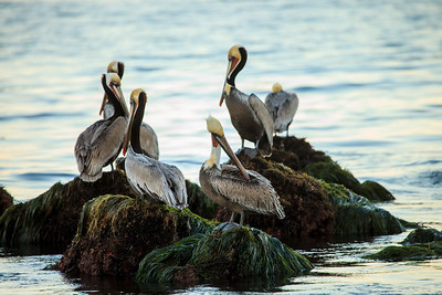 Pelicans at Low Tide