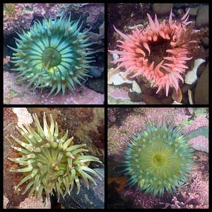 Duxburry Reef tidepool Anemoes