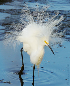 Egret with Bling