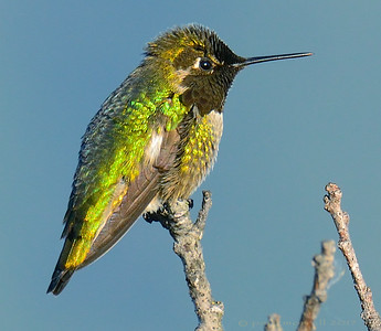 Black-Chined Hummingbird