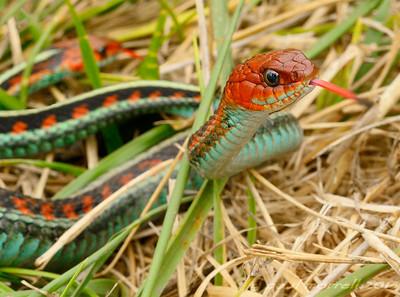 Point Reyes Garter Snakes