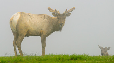 Tule Elk in the Fog
