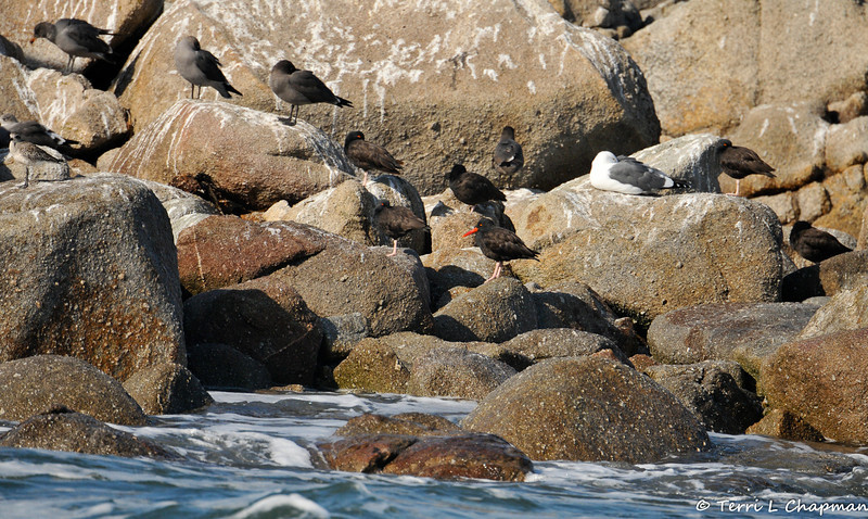 Black Oystercatchers and Gulls
