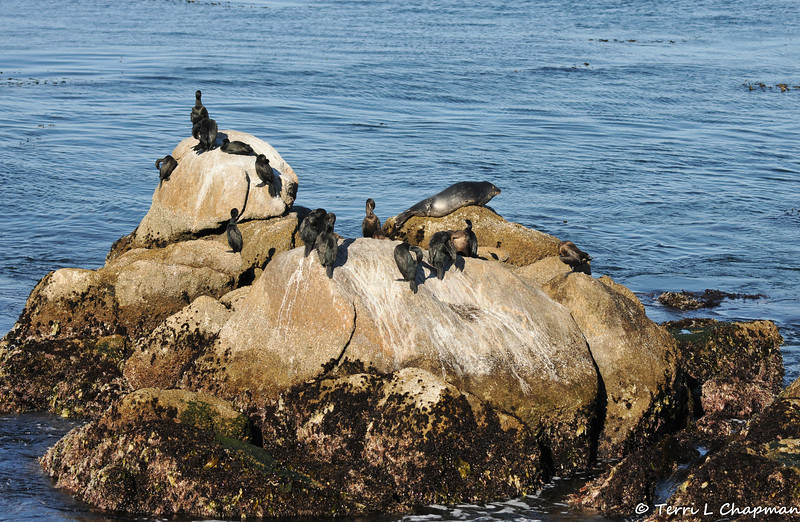 Brandt's Cormorants and a Harbor Seal basking in the afternoon sun