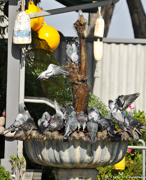Pigeons using a fountain to drink and bathe