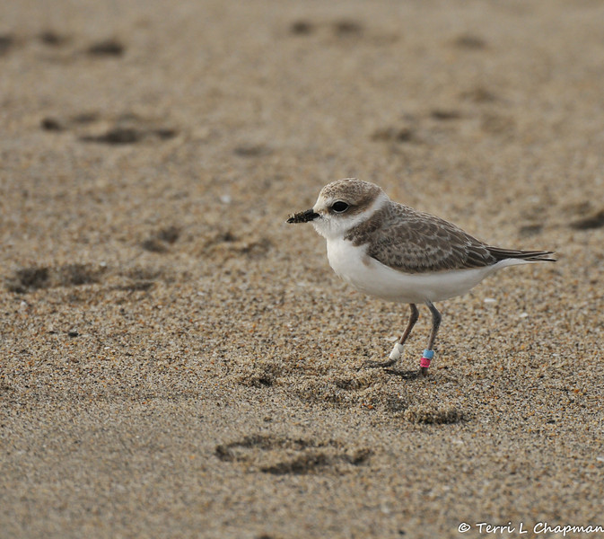 """A banded Western Snowy Plover. I reported my """"banded bird"""" sighting to the United States Geological Survey (USGS) and the USGS let me know that this is a new fledgling from a location called Reservation Road, just north of Fort Ord.<br /> <br /> Since 1993, the U.S. Pacific coast population of western snowy plovers has been listed as threatened under the Endangered Species Act. It's estimated that only about 2,500 western snowy plovers breed along the Pacific Coast from early March to late September. Today, only 28 major nesting areas remain.<br /> <br /> Plover nesting areas, which are out in the open in mere divots on sandy beaches, are destroyed as a result of human disturbance, predators and inclement weather. An adult snowy plover scurries away when its nest is approached, and it may be hours before the bird can return. While it's away, its eggs can be crushed, overheat in the sun or become a meal for a watchful predator.<br /> <br /> The snowy plover's nesting season occurs during the summer months when people visit beaches the most. Human activities, such as walking, jogging, running pets, horseback riding and vehicle use, are key factors in the ongoing decline in breeding sites and populations. Non-native European beachgrass and urban development also contribute to habitat destruction for the threatened snowy plover population."""