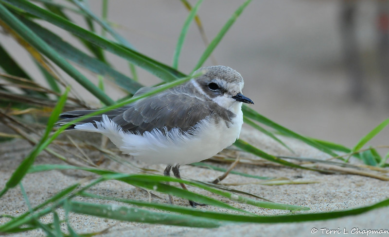 A Western Snowy Plover. Since 1993, the U.S. Pacific coast population of western snowy plovers has been listed as threatened under the Endangered Species Act. It's estimated that only about 2,500 western snowy plovers breed along the Pacific Coast from early March to late September. Today, only 28 major nesting areas remain.<br /> <br /> Plover nesting areas, which are out in the open in mere divots on sandy beaches, are destroyed as a result of human disturbance, predation by animals and inclement weather. An adult snowy plover scurries away when its nest is approached, and it may be hours before the bird can return. While it's away, its eggs can be crushed, overheat in the sun or become a meal for a watchful predator.<br /> <br /> The snowy plover's nesting season occurs during the summer months when people visit beaches the most. Human activities, such as walking, jogging, running pets, horseback riding and vehicle use, are key factors in the ongoing decline in breeding sites and populations. Non-native European beachgrass and urban development also contribute to habitat destruction for the threatened snowy plover population.