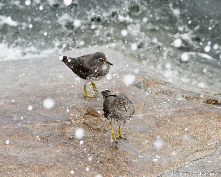 Surfbirds with the ocean surf splashing around them