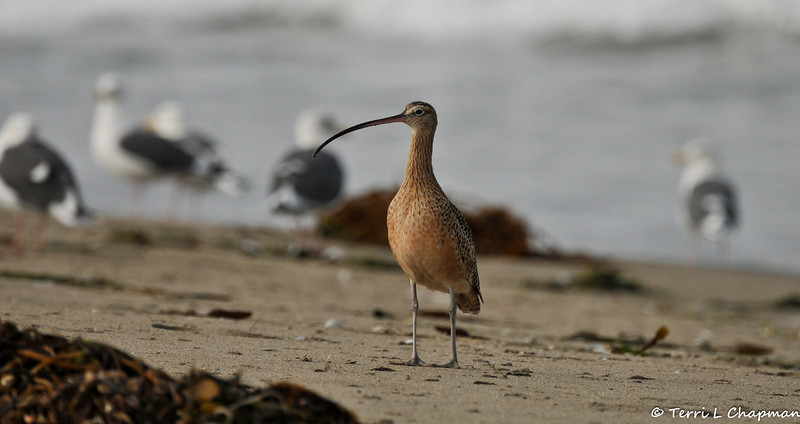 A Long-billed Curlew. Because the number of long-billed curlews in the United States is declining, the U.S. Fish and Wildlife Service has declared these birds a highly imperiled species. Cultivation of native grassland breeding habitats and commercial development of curlews' wintering grounds have contributed to the population decline of long-billed curlews.