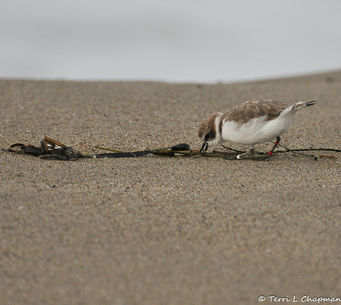 A banded Western Snowy Plover. Since 1993, the U.S. Pacific coast population of western snowy plovers has been listed as threatened under the Endangered Species Act. It's estimated that only about 2,500 western snowy plovers breed along the Pacific Coast from early March to late September. Today, only 28 major nesting areas remain.<br /> <br /> Plover nesting areas, which are out in the open in mere divots on sandy beaches, are destroyed as a result of human disturbance, predators and inclement weather. An adult snowy plover scurries away when its nest is approached, and it may be hours before the bird can return. While it's away, its eggs can be crushed, overheat in the sun or become a meal for a watchful predator.<br /> <br /> The snowy plover's nesting season occurs during the summer months when people visit beaches the most. Human activities, such as walking, jogging, running pets, horseback riding and vehicle use, are key factors in the ongoing decline in breeding sites and populations. Non-native European beachgrass and urban development also contribute to habitat destruction for the threatened snowy plover population.