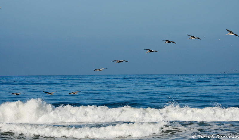 A group of juvenile and adult Brown Pelicans (Surf Scoters flying in the background)