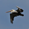 An adult Brown Pelican