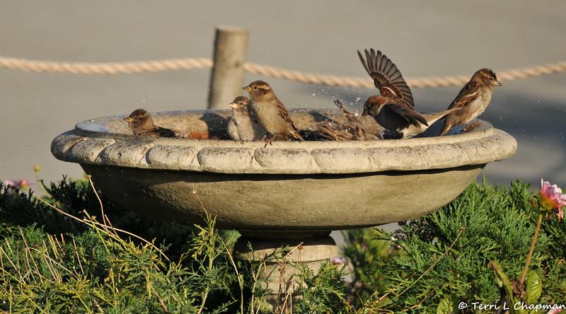 House Sparrows taking a bath