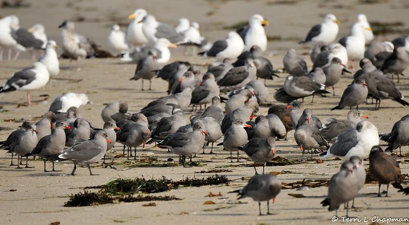Heermann's Gulls and Western Gulls