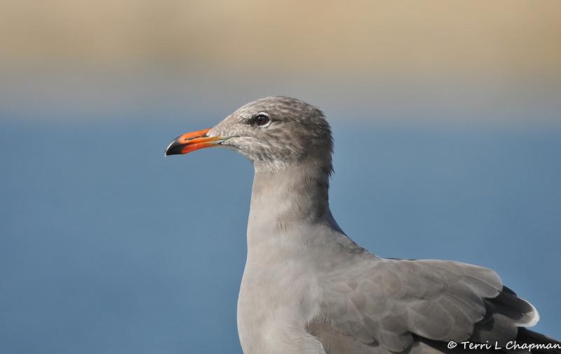 A Heermann's Gull (non-breeding plumage)