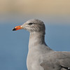 A Heermann's Gull (non-breeding plumage)