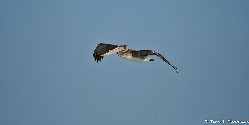 A juvenile Brown Pelican
