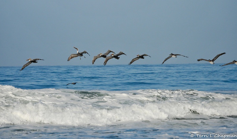 A group of juvenile and adult Brown Pelicans