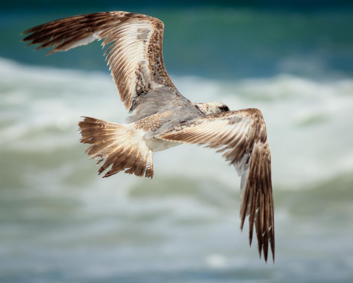 IMAGE: https://photos.smugmug.com/Monterey/Monterey-2017/i-fgWnMcw/0/c6bb0deb/X2/Birds-20170707-181-X2.jpg